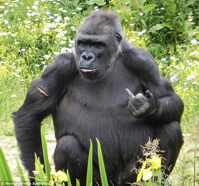 Ben Collins, 33, and his partner Danielle Kirk, also 33, were visiting Bristol Zoo for the day when the western lowland gorilla gave them a 'cheeky' smirk and held up its middle finger