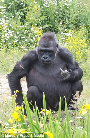 Ben, from Leeds, said: 'The gorillas were quite amusing. They have obviously got used to mimicking the people who come to watch them at food time'