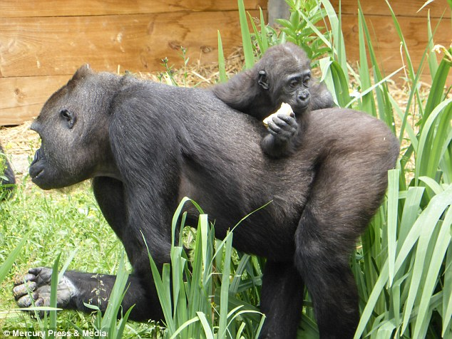 Bristol Zoo is home to seven western lowland gorillas including baby Ayana who was born in April 2017 and 32 stone silverback Jock