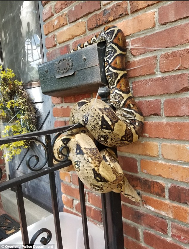A Kansas mail carrier found this snake wrapped a mail box on Friday as he did his delivery  route
