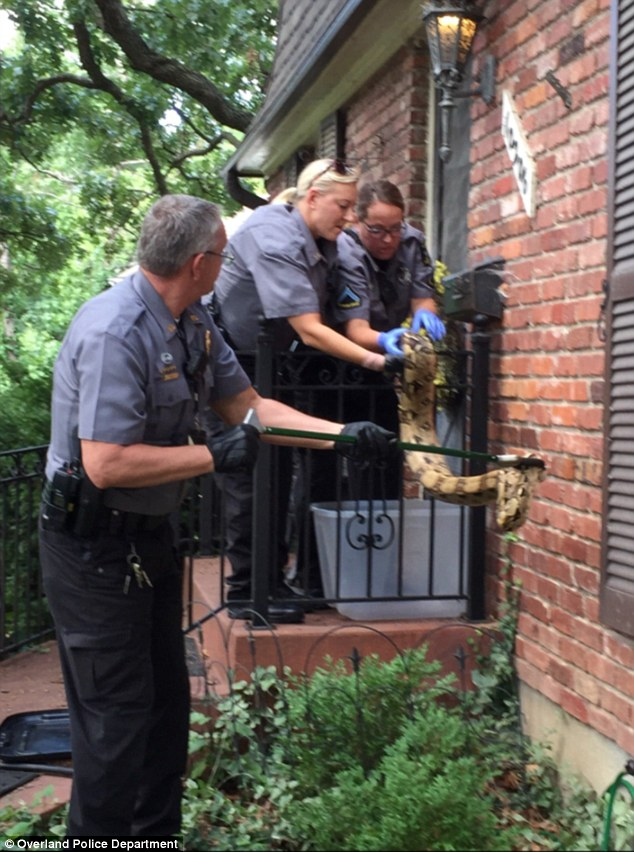 Three animal control officers arrived and took the non-venomous snake to foster care while they look for its owner
